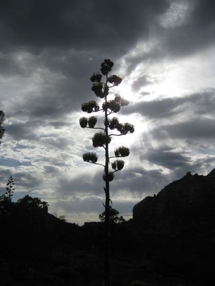 Century plant silhouette against a cloudy sky