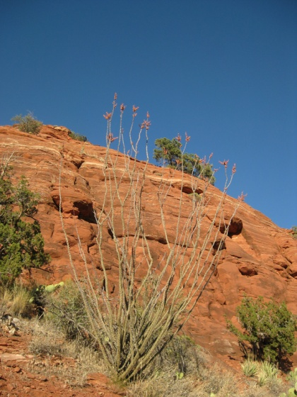 Ocotillo in front of Sugarloaf