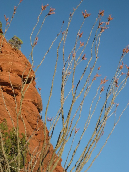 Close up of an ocotillo plant
