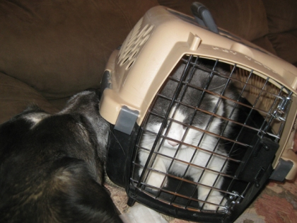 Bongo pushing Gizmo in the cat cage with his nose