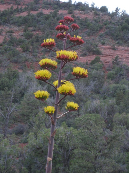 Century plant with intense yellow and red colors