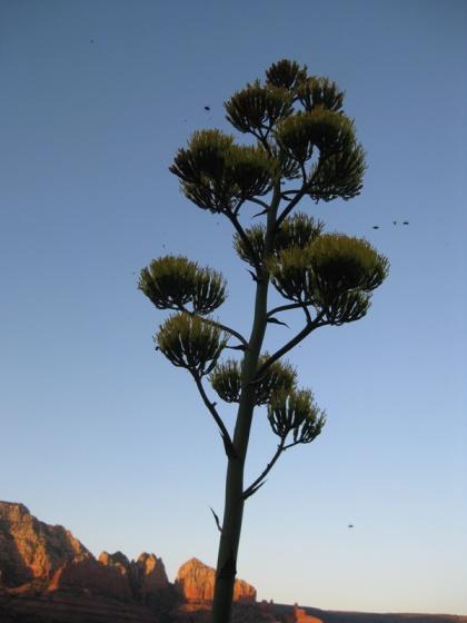 Century plant against blue sky