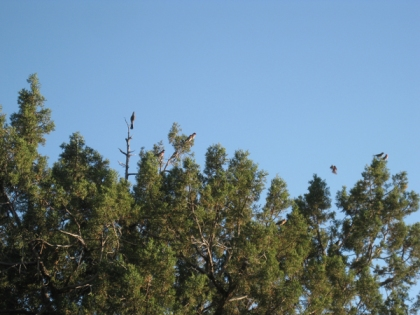 Juniper tree full of birds