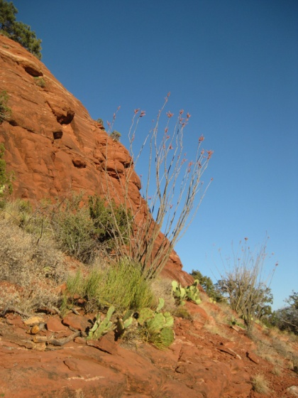 Two ocotillo on the side of a hill