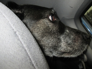 Bongo looking scared in the  car