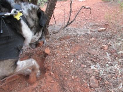 Bongo digging a hole