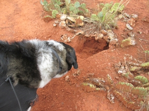 Bongo checking out a hole in the ground