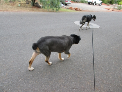 Bongo walking away from Toby