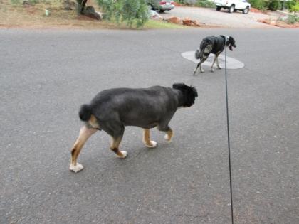 Bongo walking away from Toby