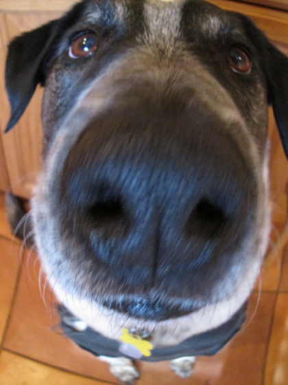 Bongo's nose