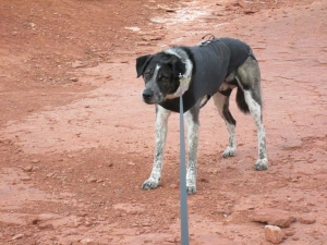 Bongo pulling against his leash