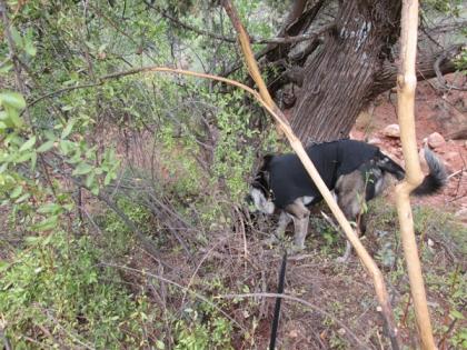 Bongo sniffing behind bushes