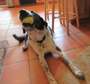 Bongo with a tennis ball in his mouth