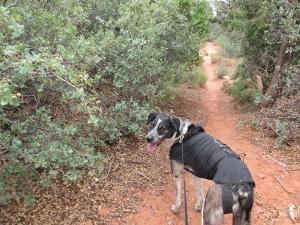 Bongo next to scrub oaks