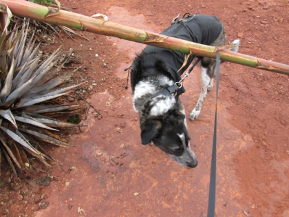 Bongo's leash wrapped around the century plant as he goes under it