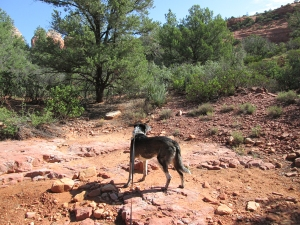 Bongo looking around the dry wash on his trails