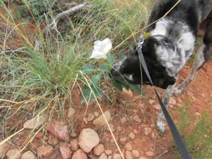 Bongo sniffing a white morning glory