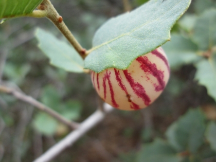 white with red stripes round gall