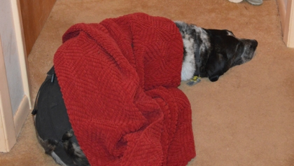 Bongo sleeping under a blanket