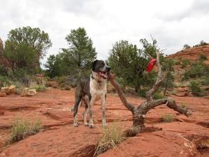 Bongo tied to a tree