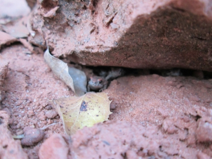 Toad peaking out from under a rock
