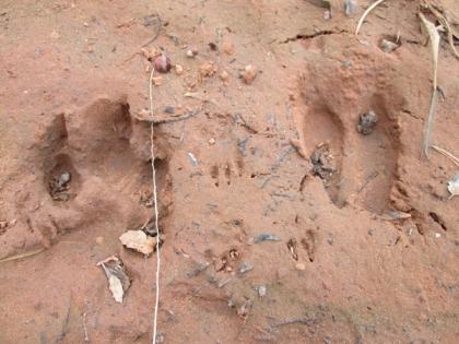 Animal tracks in mud