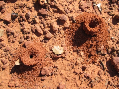 Two tall, skinny ant holes near each other