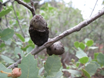 grayish brown odd shaped galls