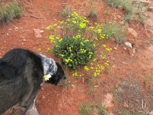 Bongo sniffing a bush with yellow flowers