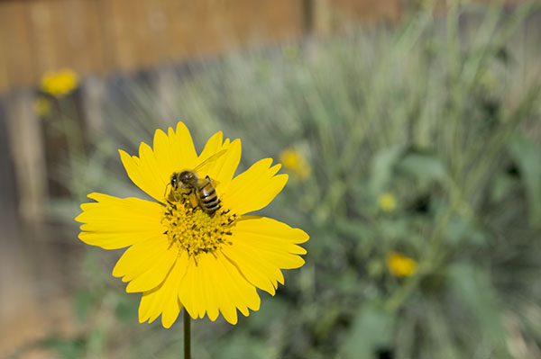 Yellow flower with a bee on it