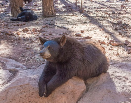 Brown bear with paws crossed
