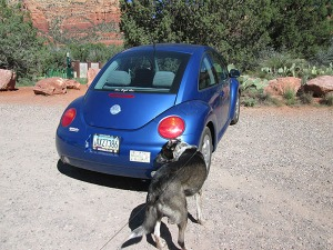 Bongo checking out a blue Volkswagen bug