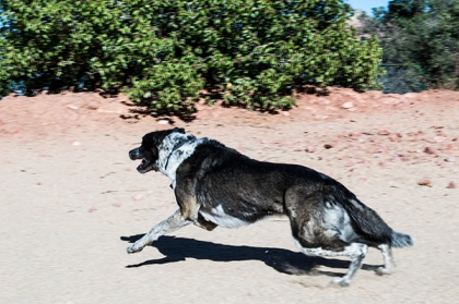 Bongo running