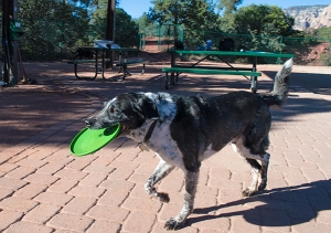 Bongo carrying a Frisbee in his mouth