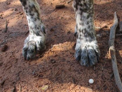 Bongo's feet near a little white, round mushroom