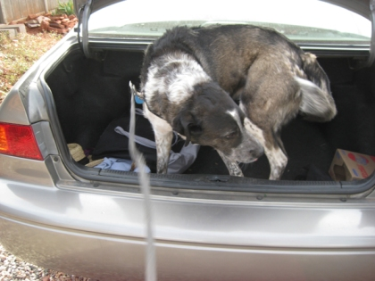 Bongo in the trunk of a car