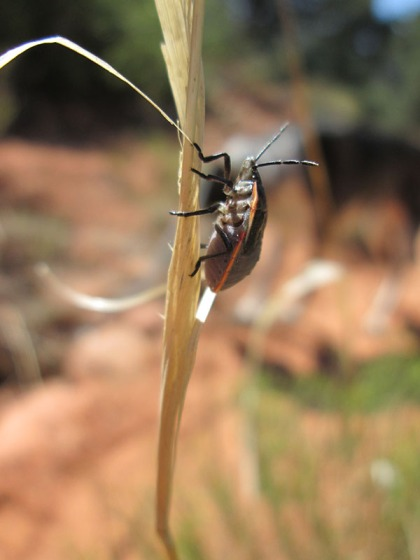 Orange striped bug climbing a stalk
