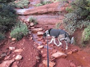 Bongo following a stream after a rain