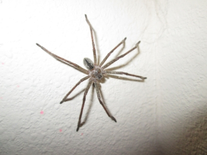 Large spider on a wall