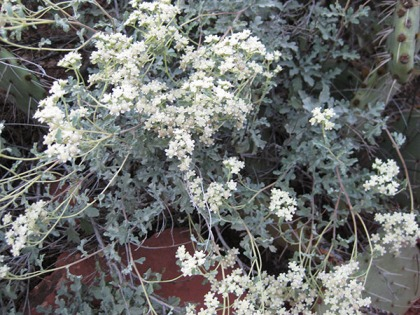 Little white flowers on a bush