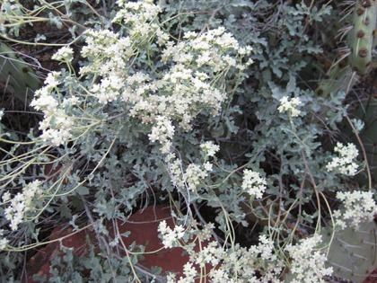 Little white flowers on a bush