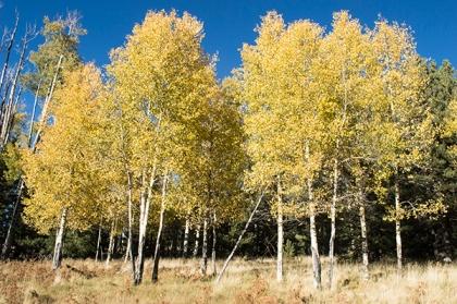 Grove of yellow aspens