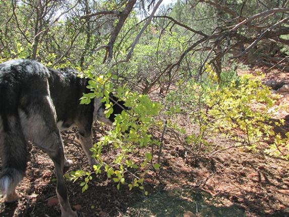 Bongo sniffing behind a sunlit bush