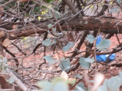 Something blue behind a bush