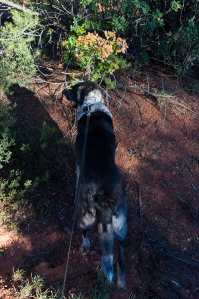 Bongo and the only fall color on the trails