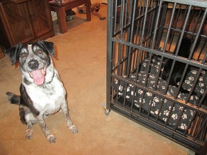 Bongo next to the dog crate - Scratchy inside
