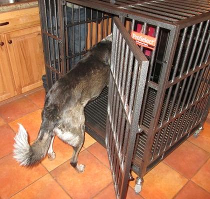 Bongo looking in his new crate