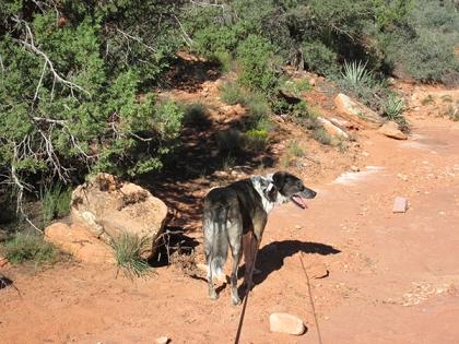Bongo near a rock
