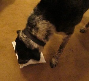 Bongo sniffing a package