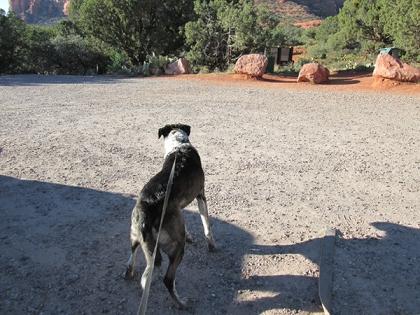 Bongo pulling on his leash